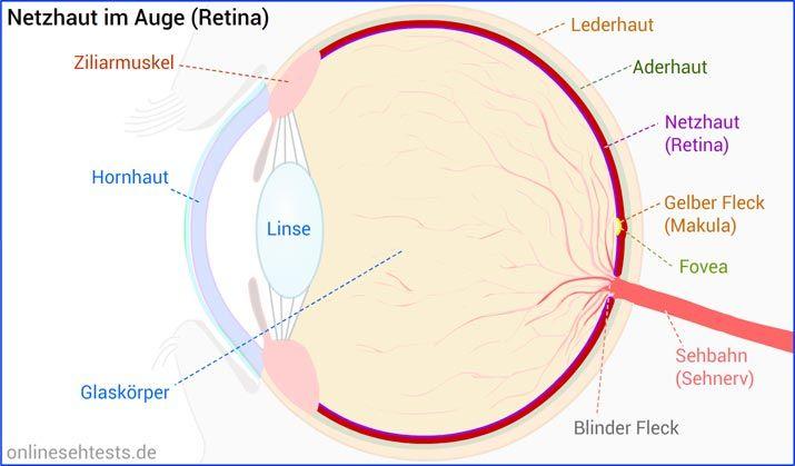 Netzhaut (Retina)