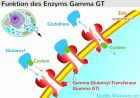 Gamma GT