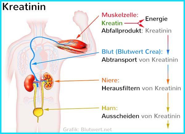 Kreatinin Normalwert
