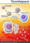 Lebenszeit Thrombozyten