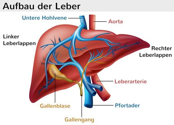Leber (Hepar)