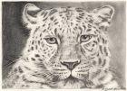 Leopard Bleistiftzeichnung