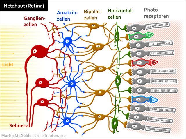Netzhaut, Retina