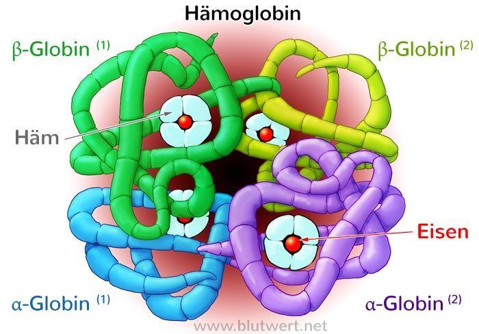 Aufbau Hämoglobin